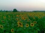Suruj Mukhi flowers in farm