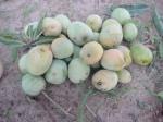 seasonal-mango-2