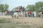 ox-race-17