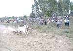 ox-race-29