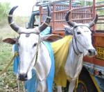 ox-race