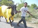 Ox Race 2011(24)