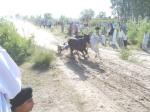 Ox Race 2011(48)