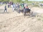 Ox Race 2011(51)